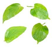 Set of Wildbetel Leafbush on White Background Stock Image