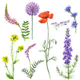 Set of Wildflowers. Hand drawn floral set. Watercolor wild flowers isolated on white background. Summer wildflowers aquarelle sketch Stock Photos