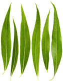 Set of willow leaves Stock Image