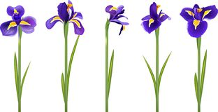 Set With Five Detailed Irises Royalty Free Stock Images