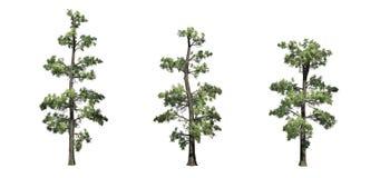 Set Wschodni White Pine drzewa ilustracja wektor