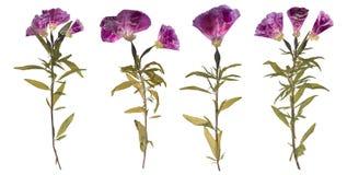 Set wysuszeni i naciskający kwiaty Herbarium purpurowi kwiaty obrazy royalty free