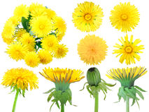 Set of yellow dandelion-flowers. For your design. Isolated on white background. Close-up. Studio photography royalty free stock image