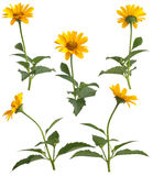 Set of yellow field flowers Stock Images