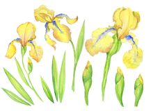 Set of yellow irises, flowers, buds, leaves. Watercolor illustration of hand painting for design vector illustration