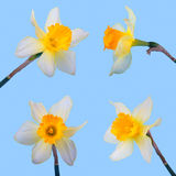 Set of Yellow jonquil flower. Isolated on blue background royalty free stock photo
