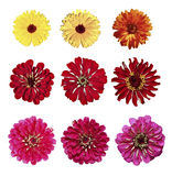 Set of yellow marigold and red zinnia flowers isolated Royalty Free Stock Images