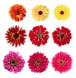 Set of yellow marigold and red zinnia flowers isolated Royalty Free Stock Image