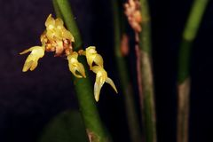 Set of yellow micro orchids Stock Image
