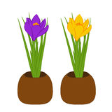 Set of yellow and purple crocus in brown pots isolated on white background. Bouquet with crocus. Vector illustration Royalty Free Stock Photo