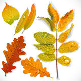 A set 1 of yellow and red autumn leaves Royalty Free Stock Images