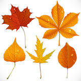 A set of yellow and red autumn leaves Stock Image