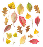 Set of yellow and red leaves Royalty Free Stock Image