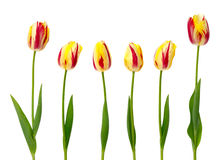 Set of yellow and red tulips Royalty Free Stock Image