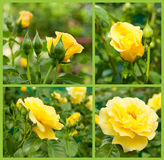 Set of yellow roses Stock Images