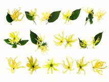 Set of Ylang-Ylang flowers. Set of Ylang-Ylang, Cananga odorata flowers isolated on white background with copy space Royalty Free Stock Photo