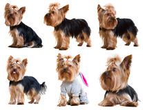 Set of  Yorkshire Terriers Stock Image