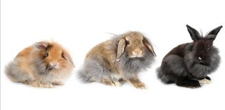 Set of young lionhead bunny rabbit, isolated. On white background stock photography