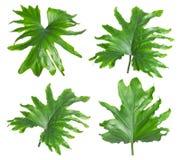 Set z tropikalnymi filodendronów liśćmi zdjęcia royalty free
