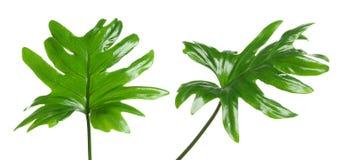 Set z tropikalnymi filodendronów liśćmi zdjęcie stock