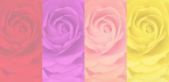 Set zamazany różany tło, 4 barwi, czerwień, purpura, menchie, kolor żółty Zdjęcia Stock