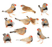 Set zebra finch isolated on white background with clipping path Royalty Free Stock Image