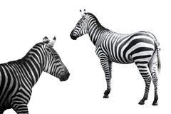 Set of zebra image Stock Photos