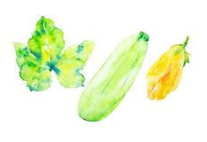 Set from zucchini,leaf and flower of the zucchini. Watercolor illustration isolated on white background stock images