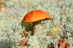 Seta anaranjada del casquillo Fotografía de archivo libre de regalías