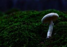 Seta blanca en fondo del bosque del otoño del musgo Foto de archivo libre de regalías