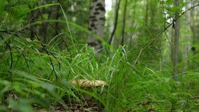 Seta comestible beige grande que crece entre la hierba en el bosque almacen de metraje de vídeo