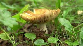 Seta comestible beige grande que crece entre la hierba en el bosque almacen de video