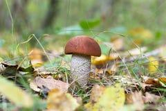 Seta comestible del boleto del anaranjado-casquillo en el bosque del otoño Fotografía de archivo libre de regalías