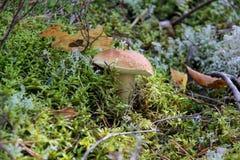 Seta comestible del boleto en el bosque del musgo Foto de archivo