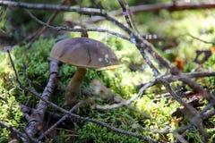 Seta comestible del boleto en el bosque del musgo Imagenes de archivo