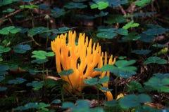 Seta coralina Fotografía de archivo