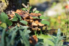 Seta de Brown que crece en tronco de árbol Foto de archivo libre de regalías