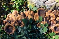 Seta de Brown que crece en tronco de árbol Fotos de archivo libres de regalías
