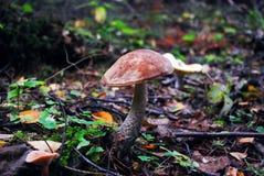 Seta de Brown - scabrum del Leccinum del bosque europeo Imagenes de archivo
