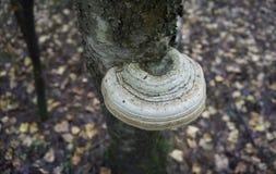 Seta de esponja en un tronco quebrado del abedul Seta que crece en un abedul del tronco de árbol Hongo del árbol en un tronco cai Imagenes de archivo