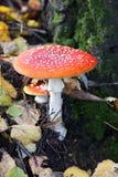 Seta de la amanita en el bosque. imagen de archivo