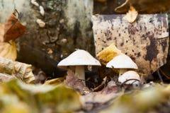 Seta de la amanita en el bosque Fotografía de archivo libre de regalías