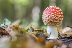 Seta de la amanita en el bosque Imagenes de archivo