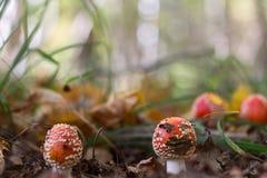 Seta de la amanita en el bosque Fotografía de archivo