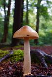 Seta de la mañana en bosque del pino Imagen de archivo libre de regalías