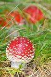 Seta de los hongos del agárico Imágenes de archivo libres de regalías