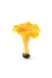 Seta de oro del mízcalo en fondo aislado blanco Fotografía de archivo libre de regalías