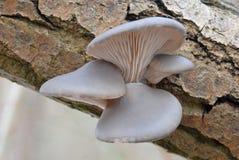 Seta de ostra (ostreatus del Pleurotus) Fotos de archivo libres de regalías