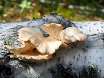 Seta de ostra salvaje Foto de archivo libre de regalías