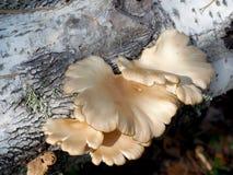 Seta de ostra salvaje Imagen de archivo